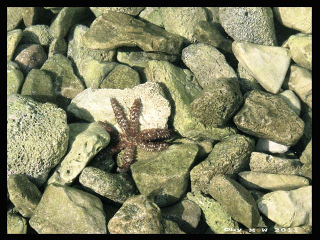 Red starfish in hvar stone beach