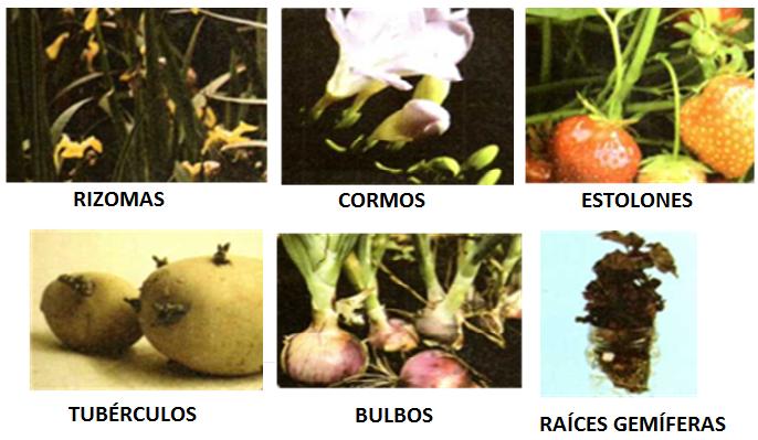 La multiplicación vegetativa se da en plantas cuyos órganos pueden