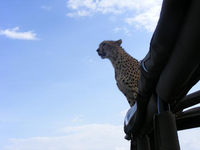 cheetah, shingo, Masai, Maasai, Mara, Kenya, Mara Intrepids, jeeps