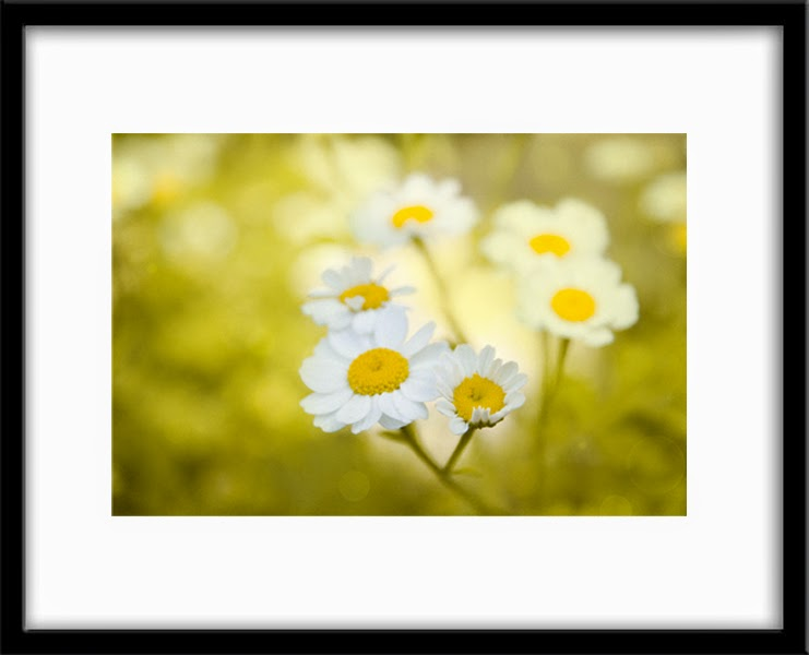feverfew flowers by Bamalam Art and Photography