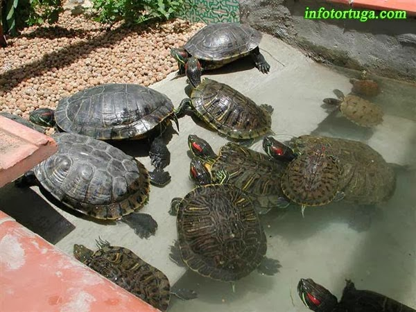 Estanques para tortugas de agua trendy contacto con otras for Estanque tortugas