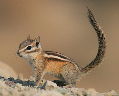 Chipmunk, Least Chipmunk, Forest, Woods, Wild Animal