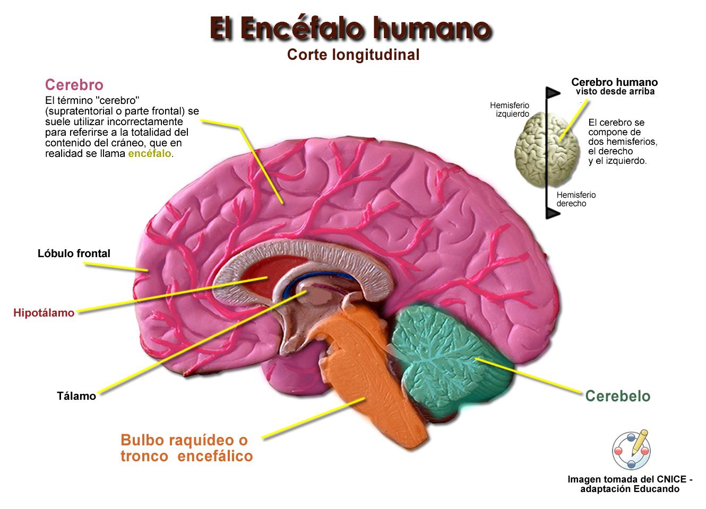 Excepcional Anatomía Del Cerebro Para Colorear Patrón - Dibujos Para ...