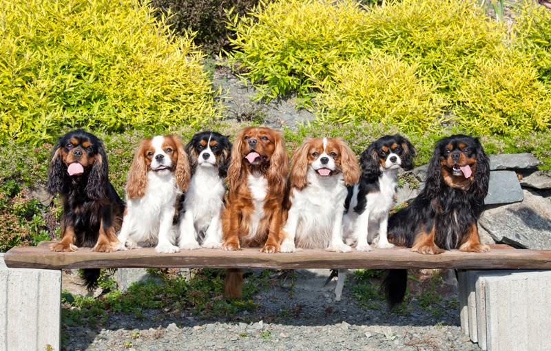 Seven King Charles Spaniels post for a photo on a bench