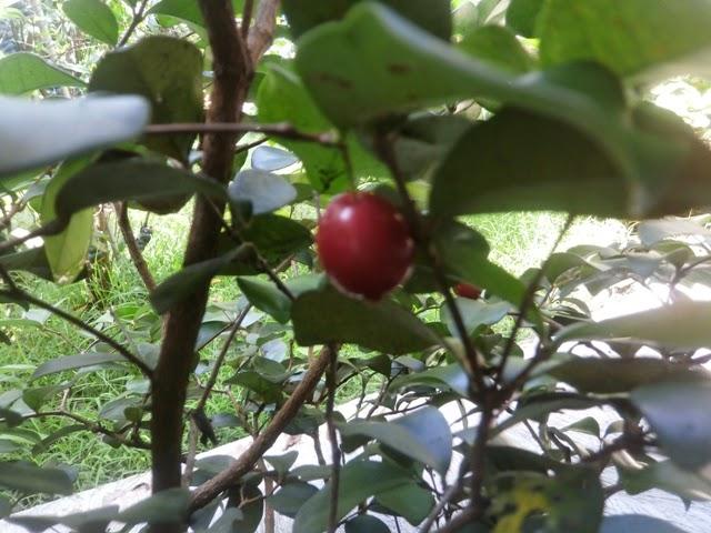 Bibit Cherry Berkualitas