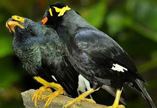burung beo bernyanyi lucu