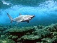Самой крупной рыбой на Земле является китовая акула.