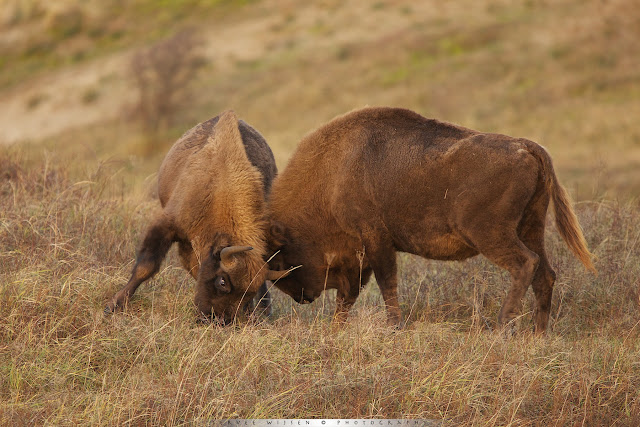 European Bison Fighting