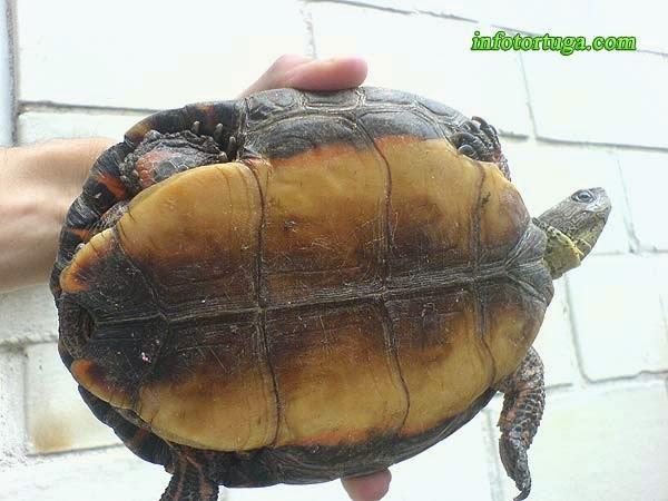 Rhinoclemmys pulcherrima incisa, plastrón