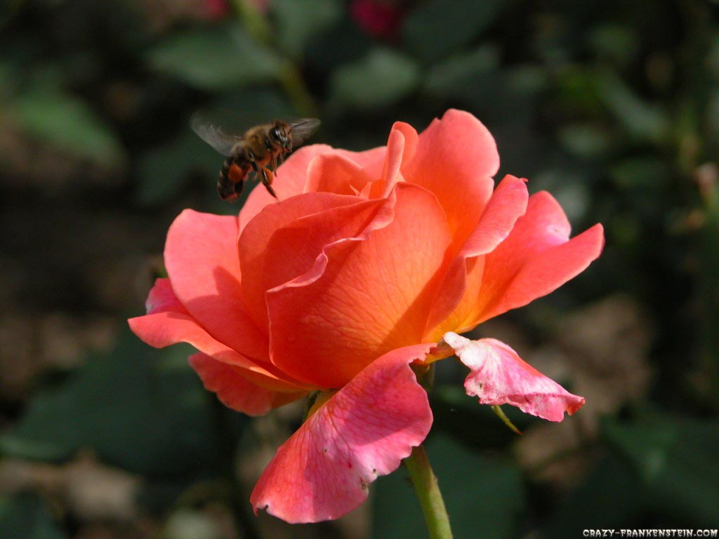 http://3.bp.blogspot.com/-i5mhno5Blcc/Tah89C0ofBI/AAAAAAAAGXc/axZnZ1TgUyQ/s1600/rose-wallpaper-bee-on-rose-wallpaper.jpg