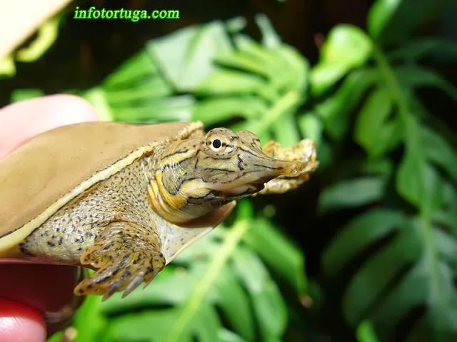 Tortuga de caparazón blando espinosa