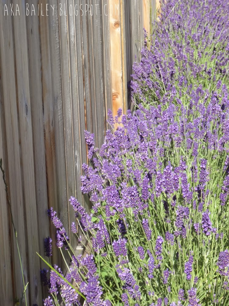 Lavender plants in Vancouver