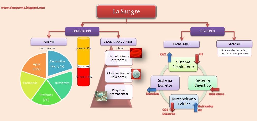 La Sangre | Esquemas, diagramas, gráficos y mapas conceptuales.