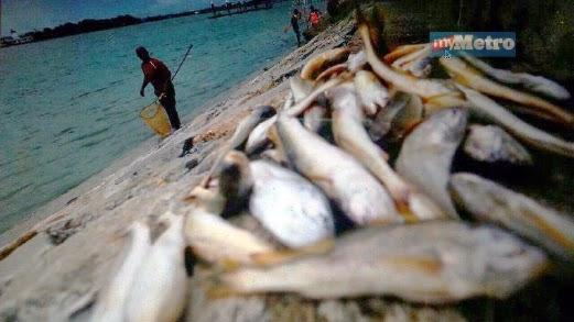 Ribuan Ikan Timbul Di Sungai Muar