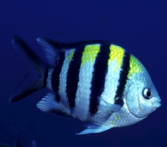 Damselfish fishes for What are the seven fishes