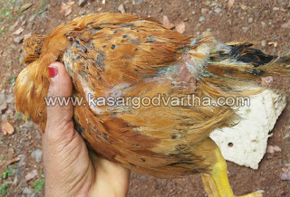 Chicken, Kasaragod, hospital, Lorry, Case, Kerala, Kerala News, International News, National News, Gulf News.