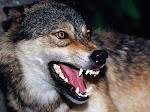Os Lobos Podem Ser