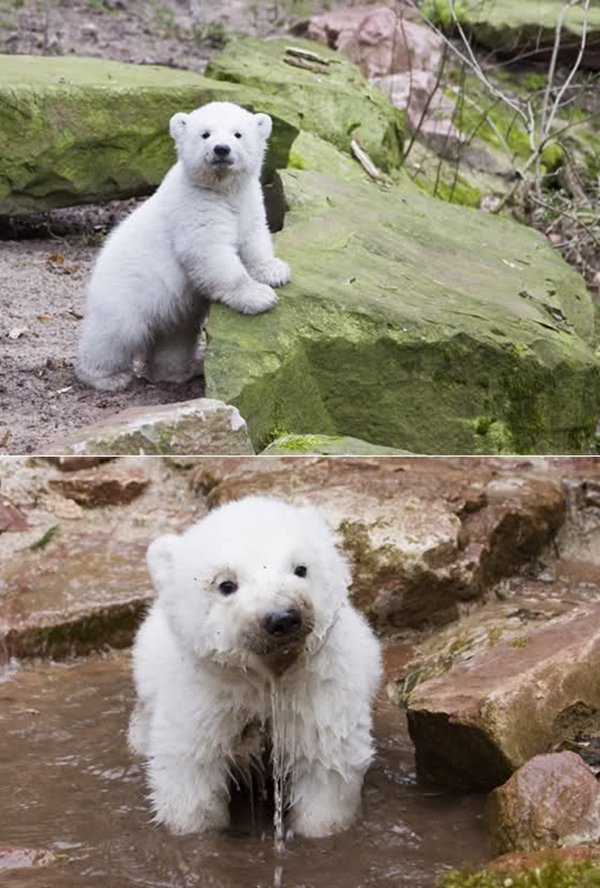 funny animal pictures, baby polar bear