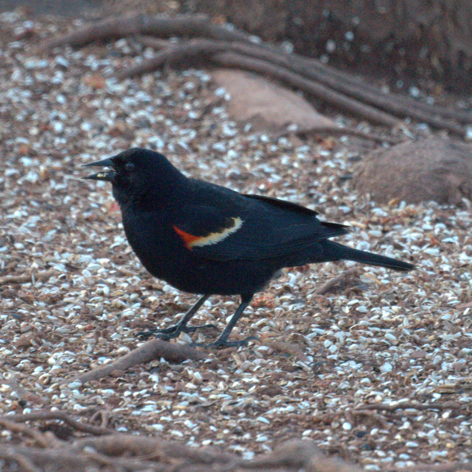 early spring birds in new jersey robin and red winged blackbird