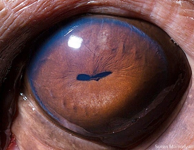 This is the close up of a hippo eye.