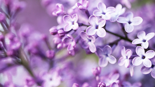 Lilac bloom purple blurry background HD Wallpaper