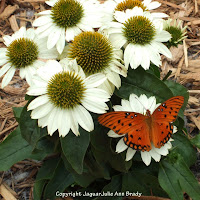 Echinacea White Swan Coneflower and Butterfly