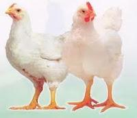 Usaha Sukses Bisnis Beternak Ayam Potong