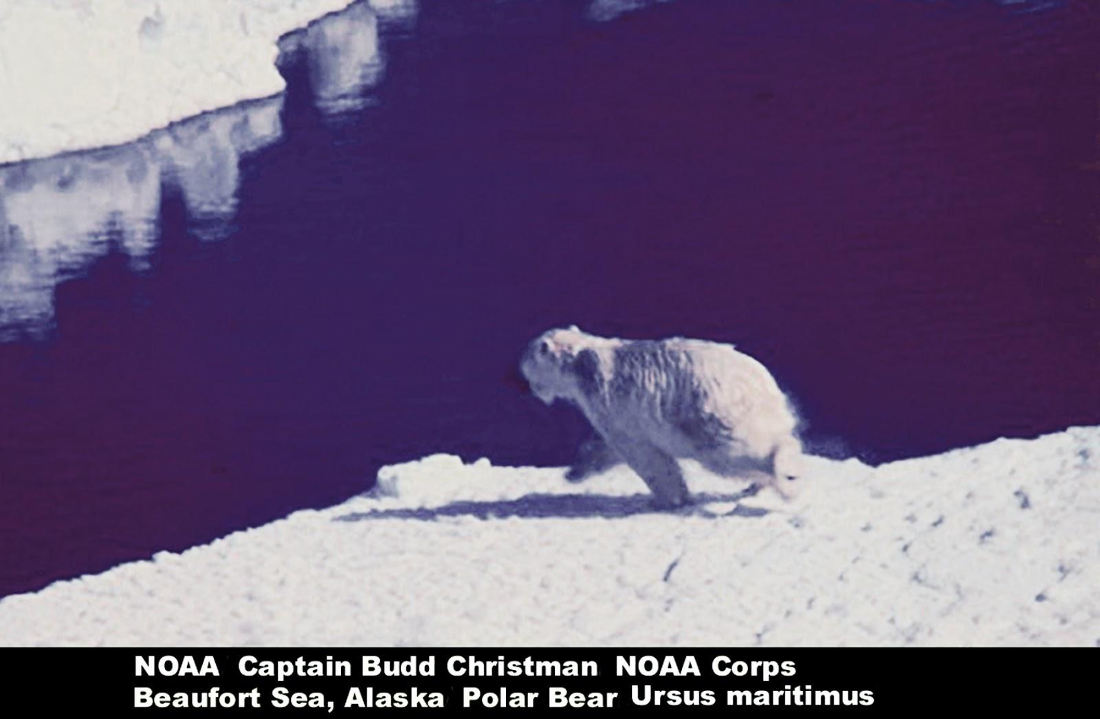 carnivores and super predators polar bears polar bears