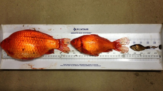 Goldfish the size of dinner plates are multiplying like bunnies.  & TYWKIWDBI (