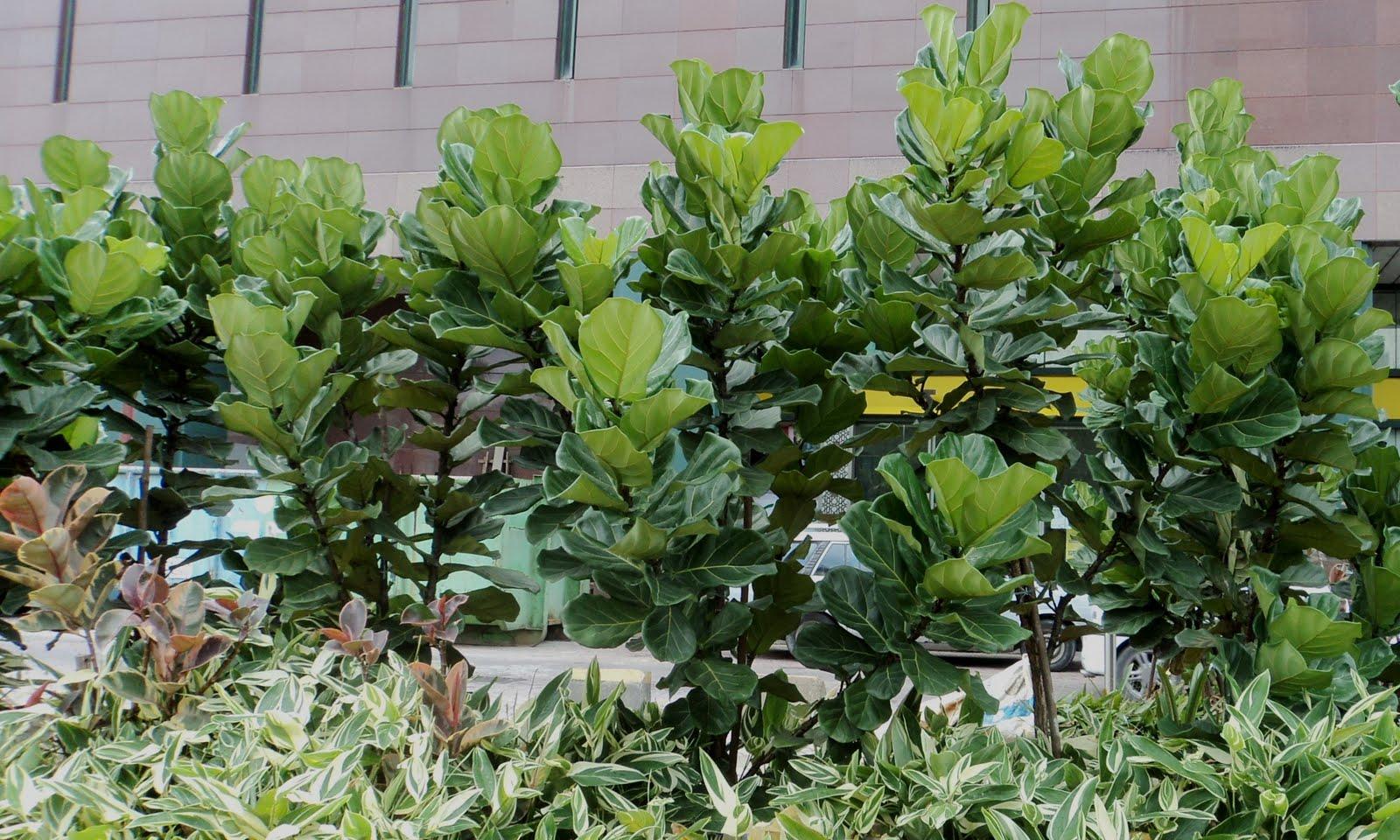 laman kambatik plants list 3rd ed ficus lyrata fiddle leaf fig. Black Bedroom Furniture Sets. Home Design Ideas