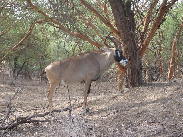 Antílope en la Reserva de Bandia, Senegal