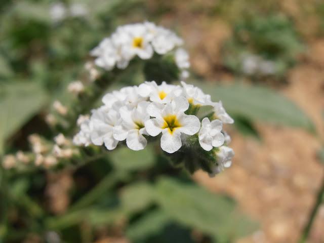 Flores de la VERRUCARIA: Heliotropium europaeum