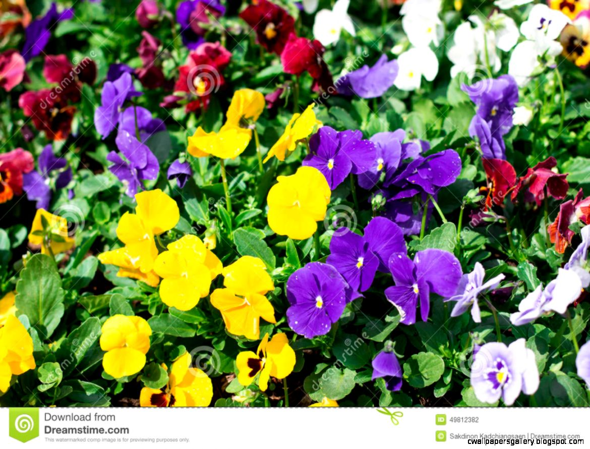 Beautiful Purple And Yellow Flowers Stock Photo   Image 49812382