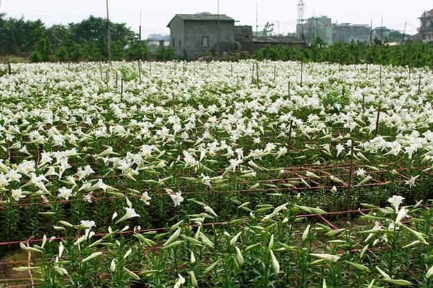 Hình ảnh hoa đẹp - Hoa loa kèn 10