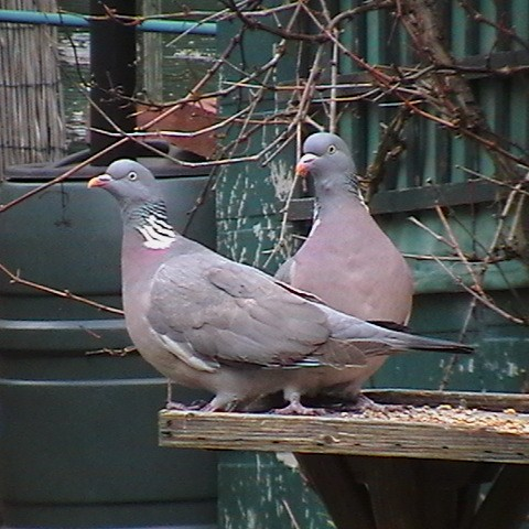 More Wordless Wednesday Woodpigeons