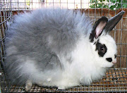 With due care and good living conditions, the French Angora will be a .