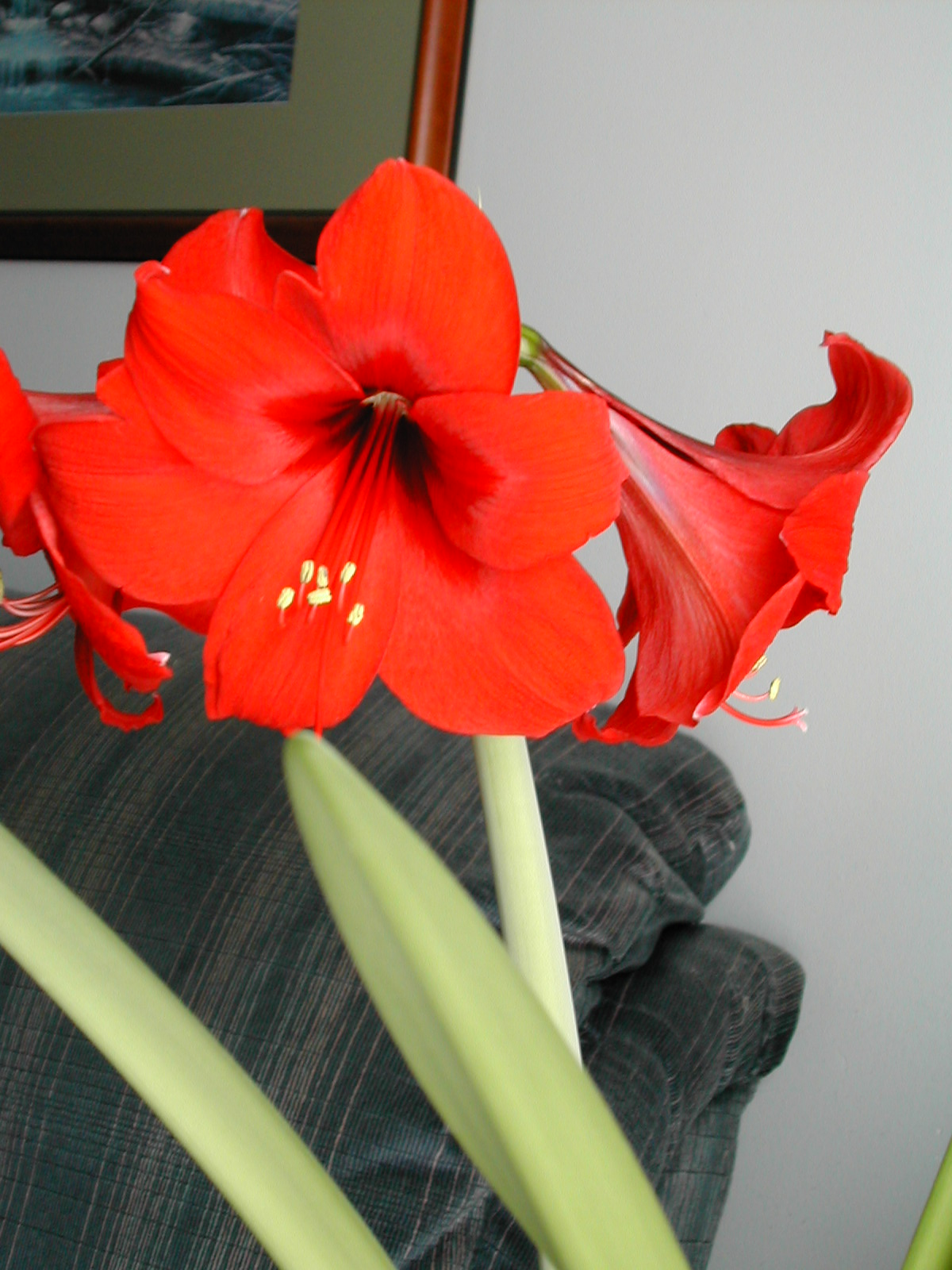 The other red christmas flower amaryllis planting and care dons my mom was given this pretty red flower for christmas and we didnt know what it was called it came in a vase with just water in it mightylinksfo