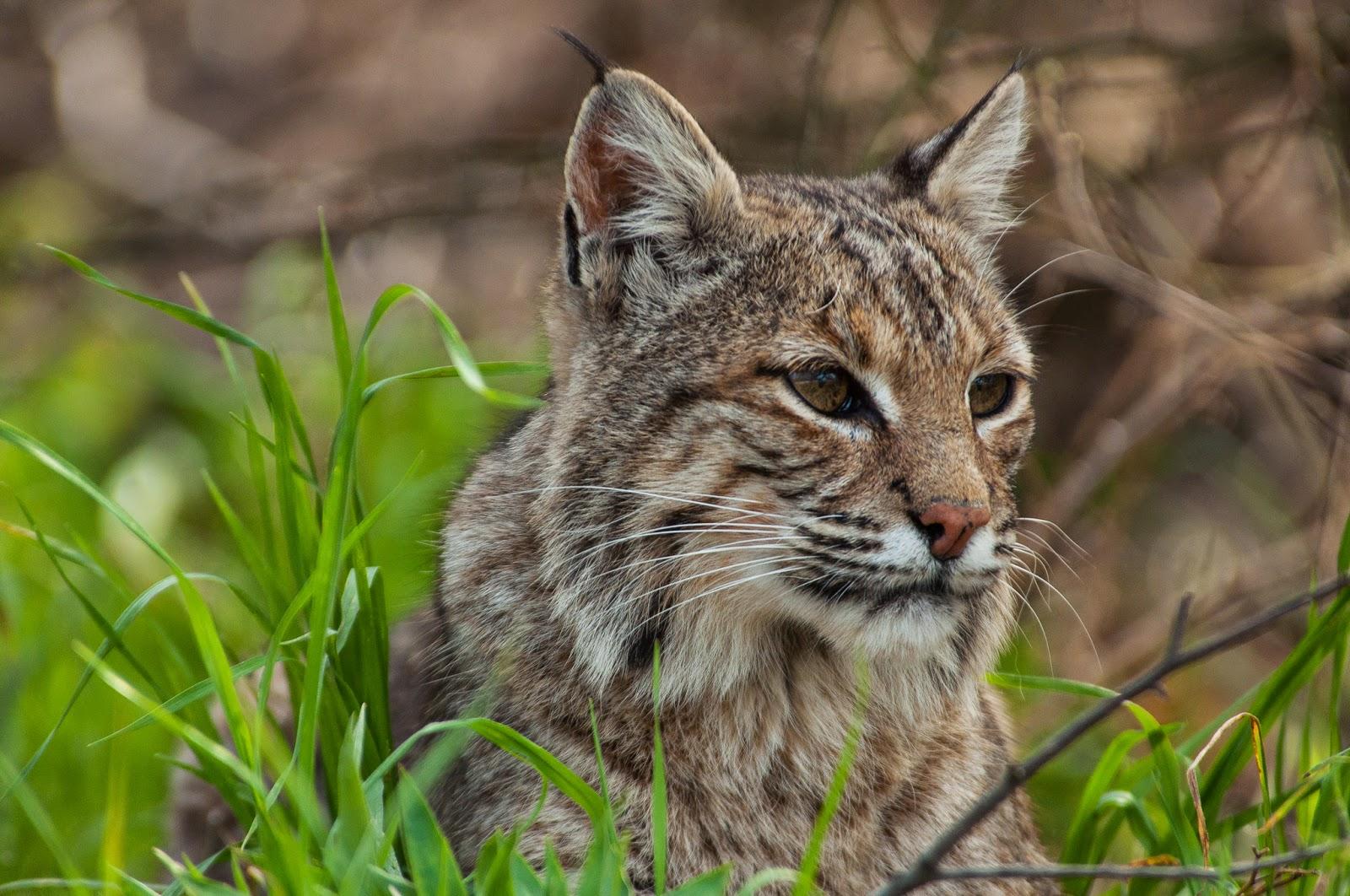 Bobcat, River Legacy Parks
