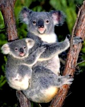 Koala con su cria