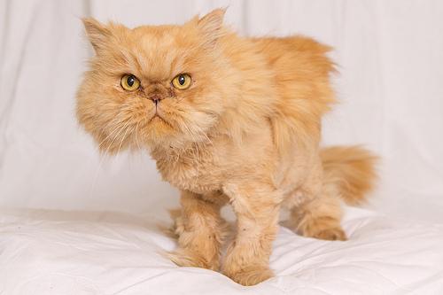 Orange Persian Kittens - Bing images