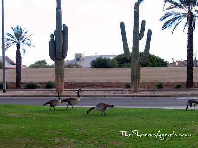 Canadian geese in Surprise AZ
