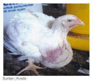 Penyakit tembolok ayam membesar, sementara berat badan ayam rendah