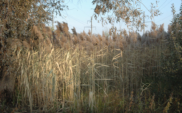 Фото Виталия Бабенко: тростник