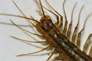house_centipede