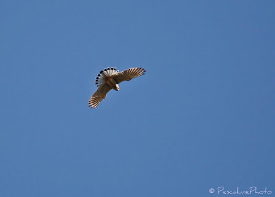 Faucon crécerelle (Falco tinnunculus), Common Kestrel