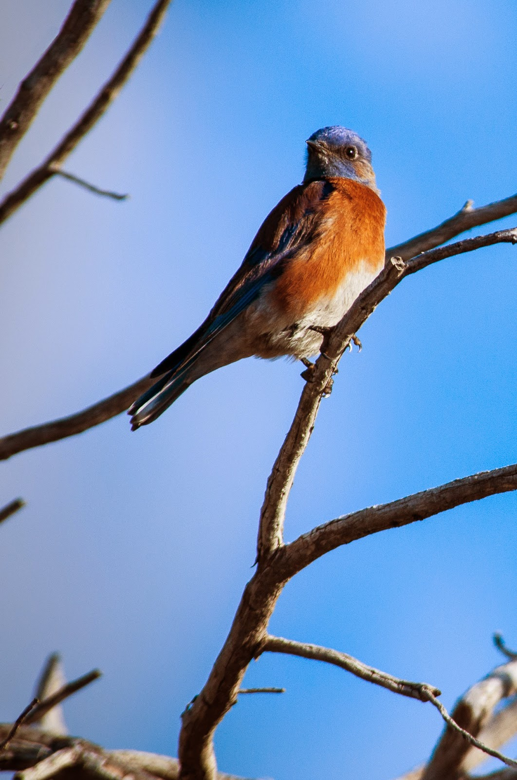 Eastern Bluebird, Guadalupe Mountains National Park