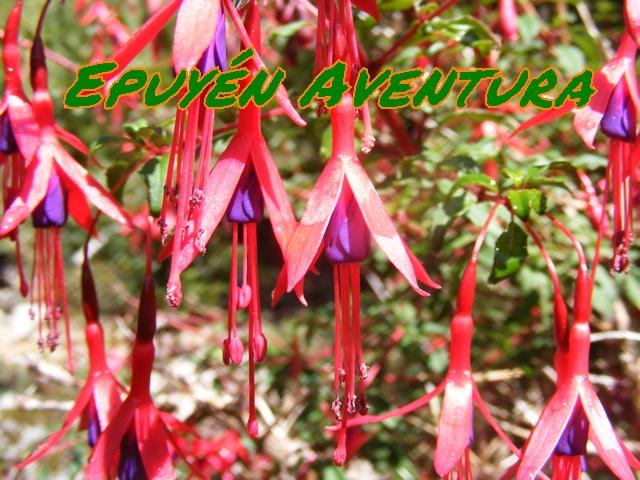 Flores de fucsia chilco tilca - Patagonia Andina