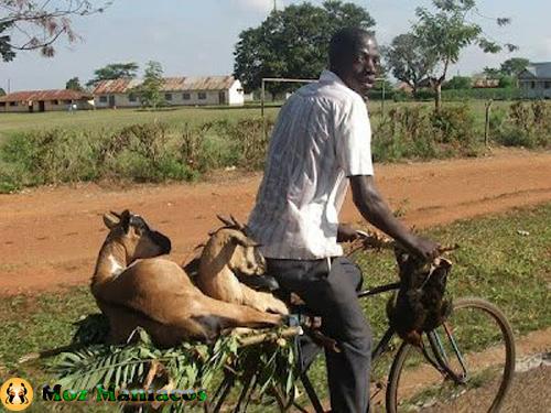 Bicicleta para Transportar Animais
