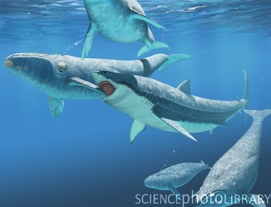 Megalodon Shark Compared To Killer Whale