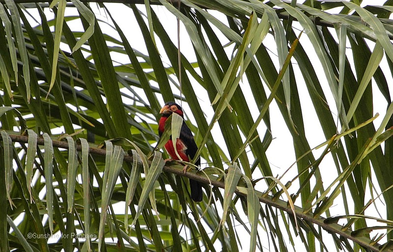 Bearded Barbet (Lybius dubius) in Gambia